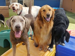 Tails Up Dog daycare in Castle rock colorda. 3 cute dogs at doggie daycare: